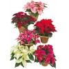 Caring For Your Poinsettia Plant