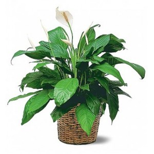 Peace Lily Plant - 10""