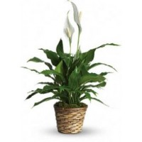Peace Lily Plant - 8""